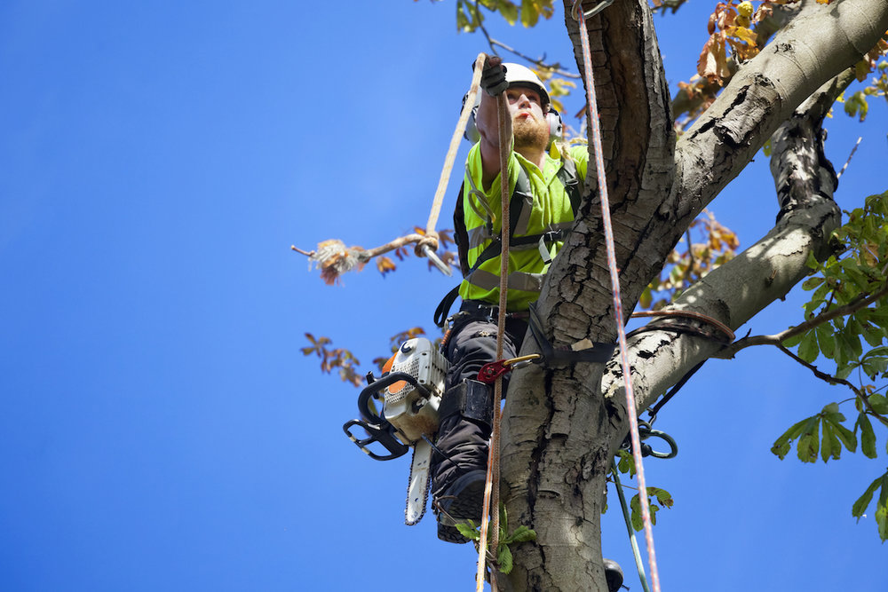 Safety First for Tree Surgeon Tree Felling
